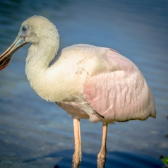 Roseate Spoonbill Wading