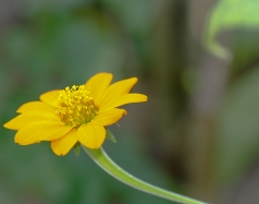 Yellow Mexican Sunflower