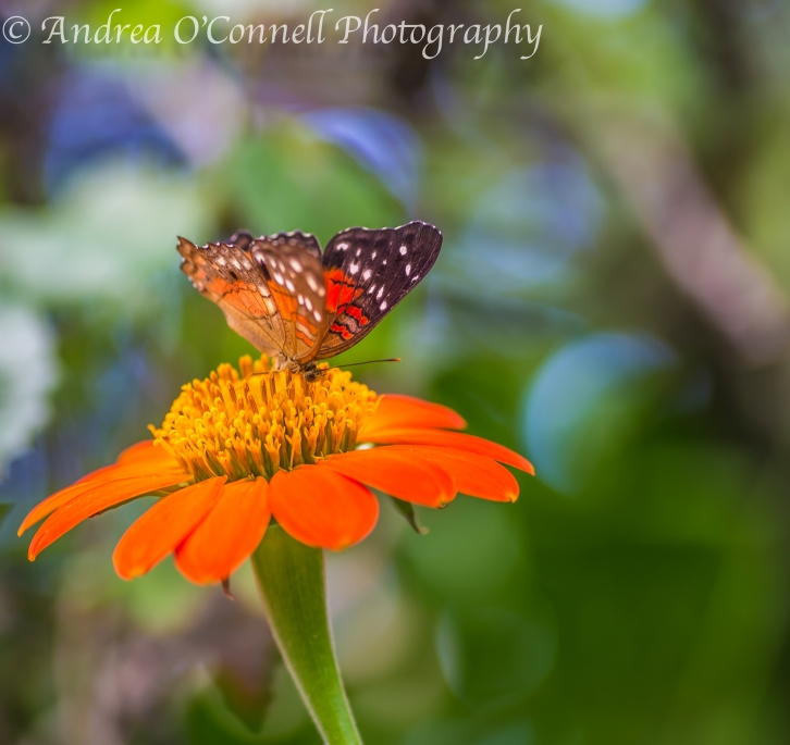 Butterfly on Mexican Sunflower