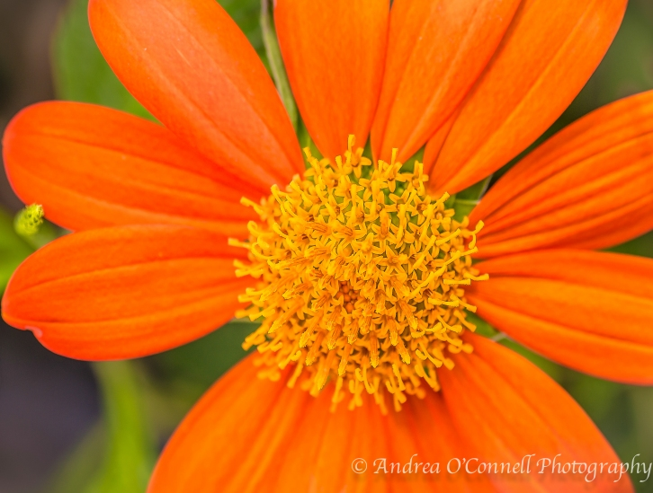 Close-up of Mexican Sunflower