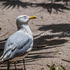 Wondering Gull