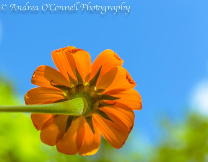 Behind the Mexican Sunflower