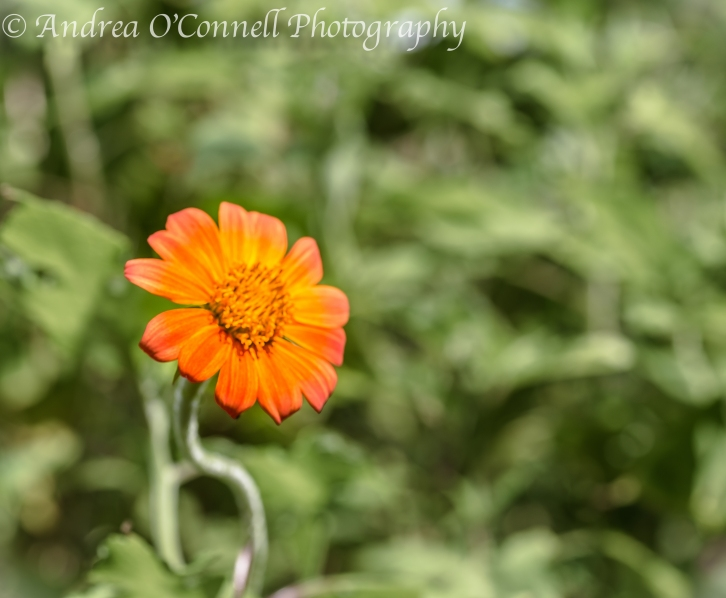 Singular Mexican Sunflower